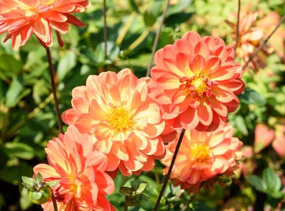 dalila in gradina cu flori de toamna